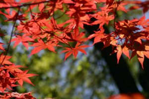 japanese-maple-1382294-640x425